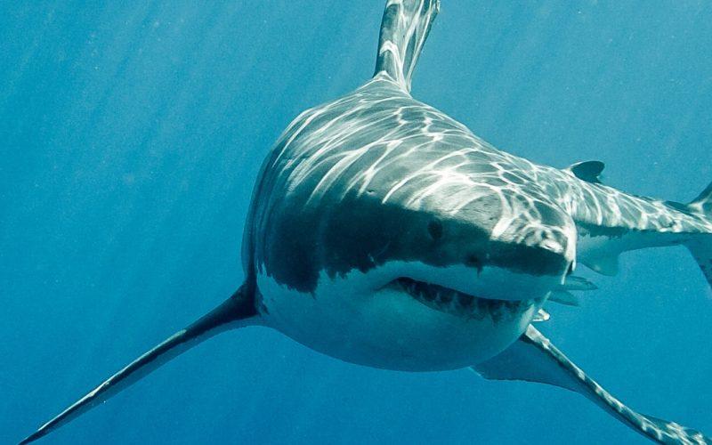 Learn All About Sharks Unit Study | Renee at Great Peace #sharks #unitstudy #sharkweek #homeschool #ihsnet
